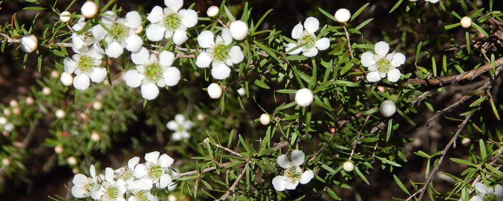 Tea Tree Flowers